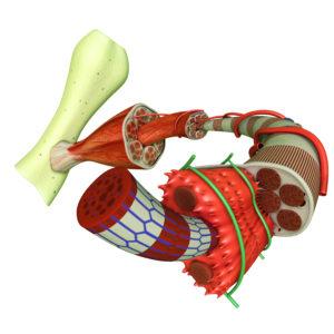 skeletilihased, funktsionaalne anatoomia, funktsionaalse anatoomia, müofastsiaalsed liinid, Lihaspõhiste situatsioonülesannete lahendamine